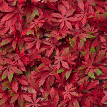 Muro hoja maple roja